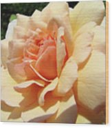 Rose Art Peach Orange Roses Sunlit Florals Giclee Baslee Troutman Wood Print