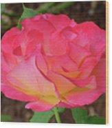 Rose Blushing Wood Print