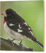 Rose-breasted Grosbeak Male Perched New Jersey  Wood Print