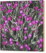 Rose Campion Wood Print