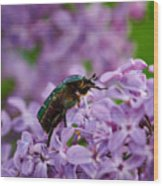 Rose Chafer On Lilac Wood Print