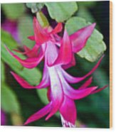 Rose-colored Christmas Cactus At Pilgrim Place In Claremont-california  Wood Print