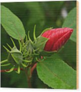 Rose O Sharon Bud Wood Print