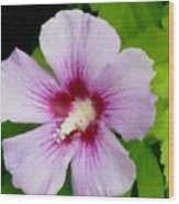 Rose Of Sharon Close Up Wood Print