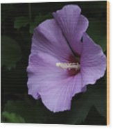 Rose Of Sharon - Hibiscus Syriacus Wood Print