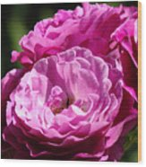 Rose Pink Purple Roses Flowers 1 Rose Garden Sunlit Flowers Baslee Troutman Wood Print