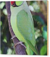 Rose-ringed Parakeet Wood Print