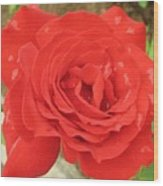 Rose With Dew Wood Print