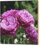Roses Art Rose Garden Pink Purple Floral Prints Baslee Troutman Wood Print