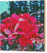 Roses At Mont Alto Wood Print