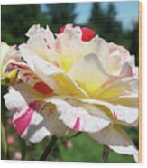 Roses White Pink Yellow Rose Flowers 3 Rose Garden Art Baslee Troutman Wood Print