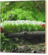Rosy Maple Moth Caterpillar Wood Print