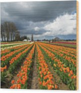 Rows Of Colorful Tulips At Festival Wood Print