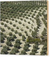 Rows Of Olive Trees Growing In The Village Of Baena Wood Print