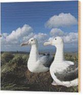 Royal Albatrosses Nesting Wood Print
