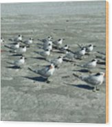 Royal Terns #4 Wood Print
