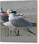 Royal Terns And Gulls Wood Print