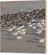 Royal Terns At Sebastian Inlet In Florida Wood Print