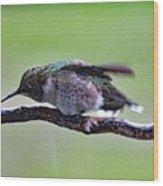 Rubbing Its Bill - Ruby-throated Hummingbird Wood Print