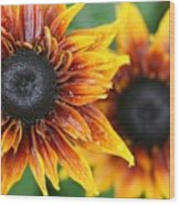 Rudbeckia - Cherokee Sunset Wood Print