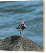 Ruddy Turnstone 2 Wood Print