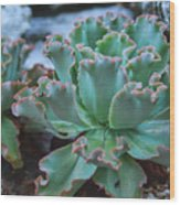 Echeveria Rosea  Wood Print
