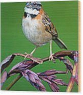Rufous-collared Sparrow Zonotrichia Wood Print