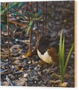 Rufous Sided Towhee At A Glance Wood Print