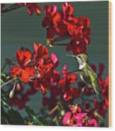 Rufus Humming Bird At Sunrise  Wood Print