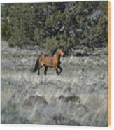 Running Bachelor Stallion Wood Print