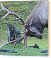 Rutting Bull Elk Wood Print