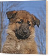 Sable German Shepherd Puppy II Wood Print by Sandy Keeton