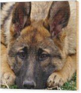 Sable German Shepherd Puppy Wood Print