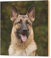 Sable German Shepherd Wood Print