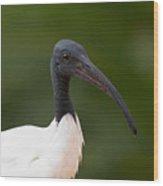 Sacred Ibis Wood Print