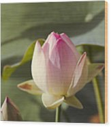 Sacred Lotus - Nelumbo Wood Print