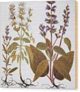 Sage, 1613 Wood Print