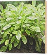 Sage Plant Wood Print