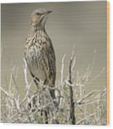 Sage Thrasher Wood Print