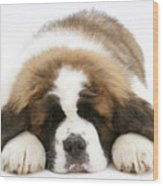 Saint Bernard Puppy Sleeping Wood Print