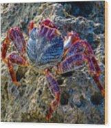 Sally Lightfoot Crab 1 Wood Print
