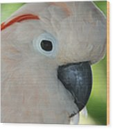 Salmon Crested Moluccan Cockatoo Wood Print