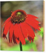 Salsa Red Coneflower Wood Print