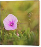 Saltmarsh Morning Glory Flower  Wood Print