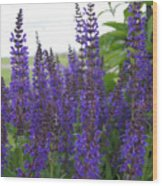 Salvia In The Spring Wood Print