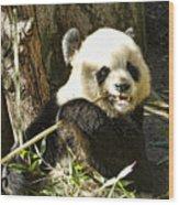 San Diego Panda Wood Print