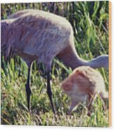 Sandhill Crane And Chick Wood Print