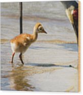Sandhill Crane With Chick Wood Print