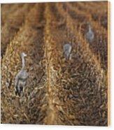Sandhill Cranes - Cornfield Wood Print