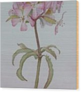 Saponaria Wood Print